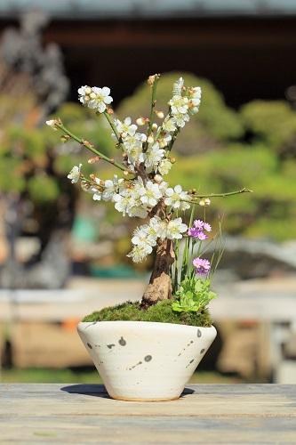 迎春 梅のミニ盆栽