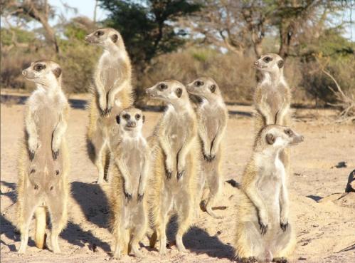 家族をつくる哺乳類~ミーアキャットとハダカデバネズミ