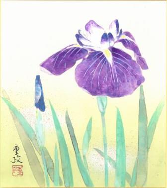 日本画で「花菖蒲」を描く