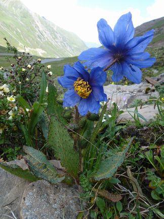中国奥地の青いケシと花園