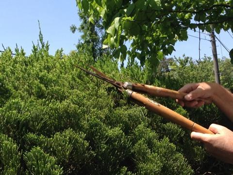 はじめての庭木剪定