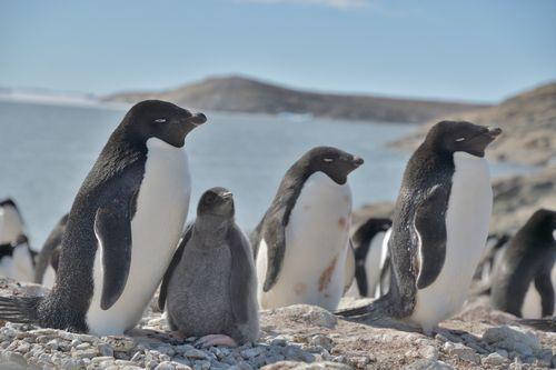 南極の氷がなくなるとペンギンはどうなるのか