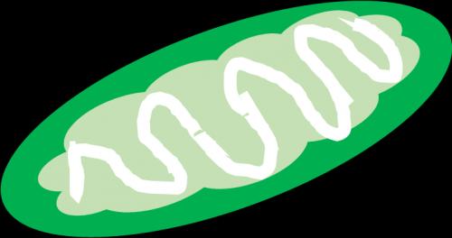 ミトコンドリア