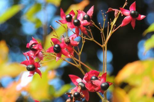 クサギの実と紅葉