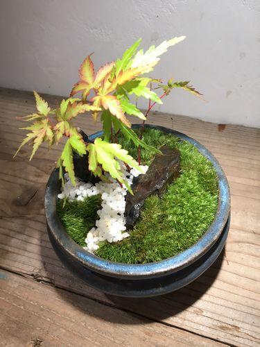 苔盆栽作品例