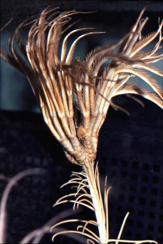 トリノアシ(ウミユリの一種)