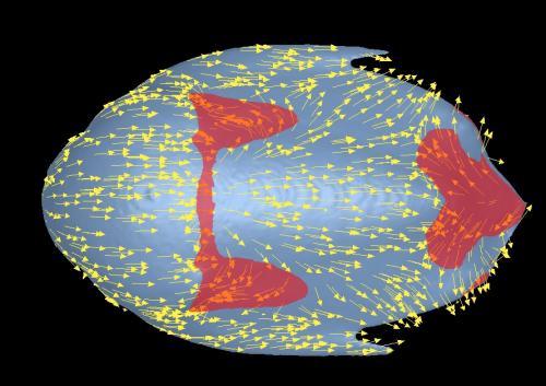 ハイポディクラノタスの流体解析結果