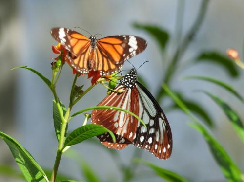 トウワタで吸蜜するチョウ