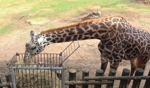 動物園で人気のキリン