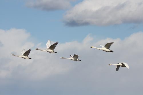 白鳥(撮影:瀬古智貴)