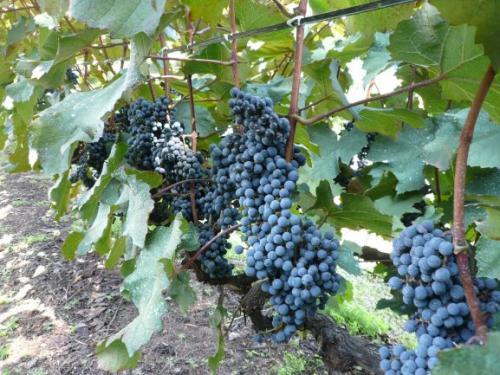 日之城葡萄園のワイン専用ブドウ