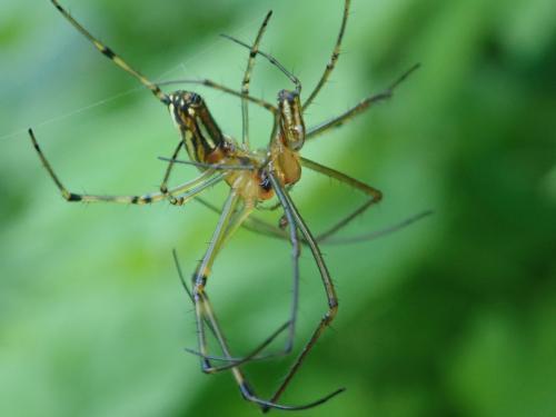チュウガタシロカネグモの交接の様子