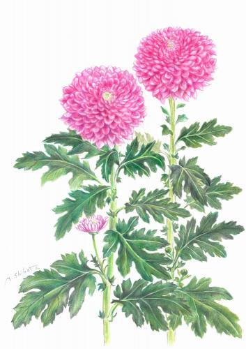 ぽんぽん菊