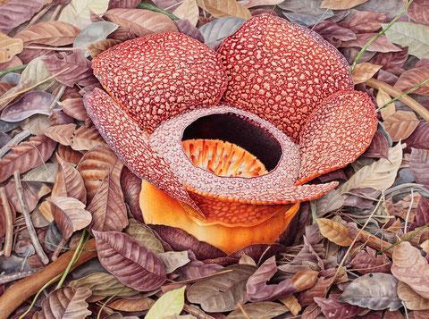 Rafflesia keithii (c)Mieko Ishikawa