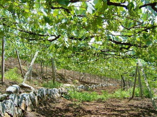 山梨県牧丘葡萄畑